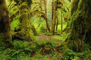 us-olympic-national-park-hoh-rain-forest