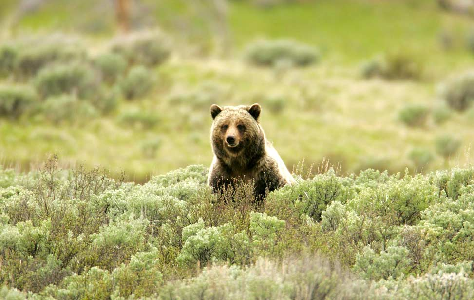 Grizzly de Yellowstone