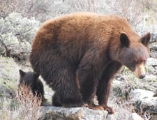Yellowstone Grizzy Bear with Cub